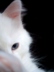 A white cat with bright blue eyes looks out of the photograph.
